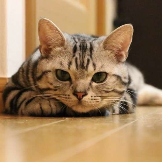 知ってますか 室内飼いの猫でも寄生虫予防が必要な理由 ねこのきもちweb Magazine 猫 猫 ノミ いぬ