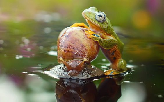 Harfian Herdi, 28, witnessed a lethargic Japanese tree frog hitching a ride on the world's slowest taxi, a snail travelling at 0.03 mph, in a lake in his back garden in West Borneo, Indonesia.