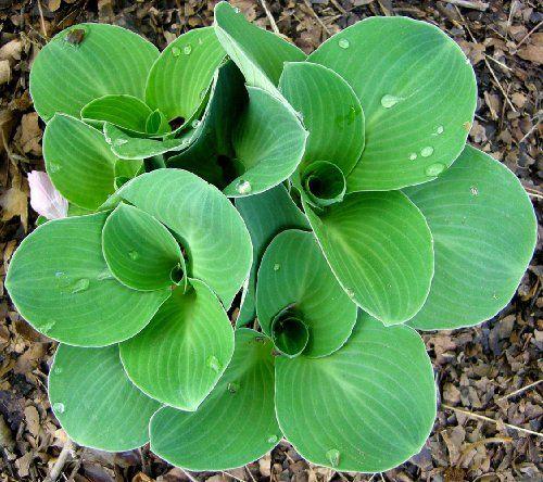 Green Mouse Ears Hosta - Dwarf/Fairy Garden - One Quart Pot