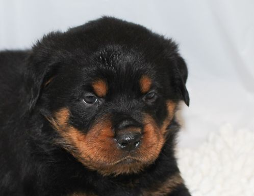 Thunder A Black Male Akc Rottweiler Puppy For Sale In Indiana