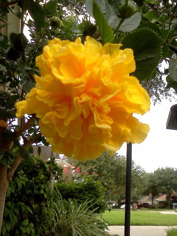 Texas Yellow Gardenia