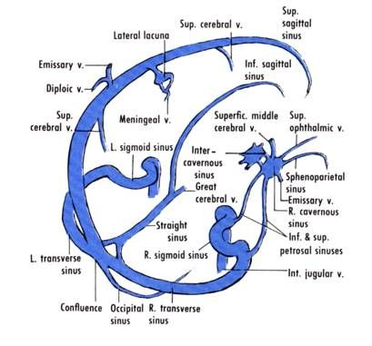 Central venous system anatomy