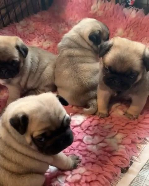 Pin By Birdyfunkid On Cute Animals Cute Baby Animals Baby Pugs