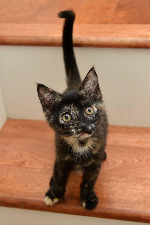 Rhianna Adorable Rhianna Has Found The Most Purr Fect Home For Her With One Of Our Loyalist Volunteers Daughter Cute Cats Tortie Kitten Pretty Cats