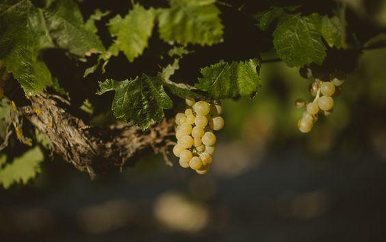 Uvas de viñas en Arcos de la Frontera, Cádiz. España. #prewedding #engagement #spain #greips #wine