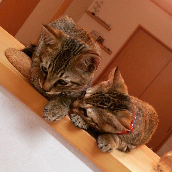 「#きじとら#キジトラ#猫#ネコ#ねこ#cat  これも懐かしい写真。 2匹とも、今も昔も、台所が気になって仕方ない。」