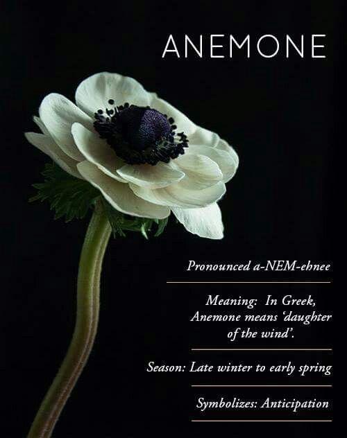 º º Anemone Anemone Flower Planting Flowers