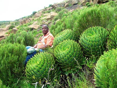 Spiral Aloe - A. polyphylla - an endangered plant. Bongani with a cluster of Spiral Aloes