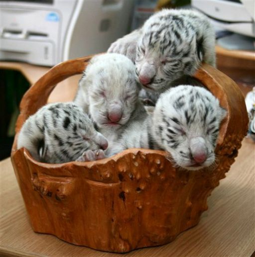 May 6, 2012: Four white cubs, including a rare albino tiger are seen at the Skazka Zoo in Yalta, Ukraine.
