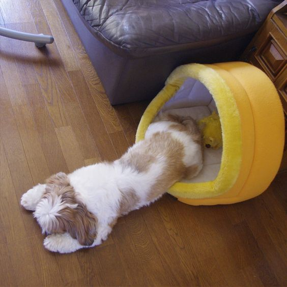 Zzz... #shihtzu #シーズー #犬 this is exactly what my Layla used to do! so funny...