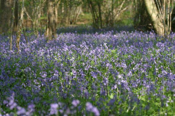 Bluebells April 2014 at Mottisfont in Hampshire