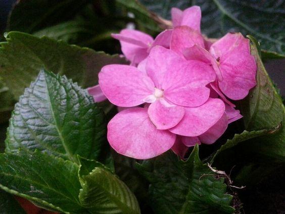 My strong pink hydrangeas ♡