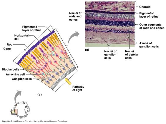 CH 15 Retina (apsubiology.org) | Anatomy and Physiology | Pinterest ...