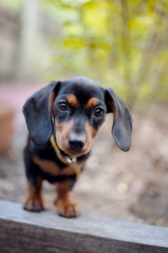95 Historic Dog Names Dachshund Baby Dachshund Dachshund Breed