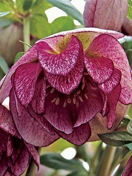 Helleborus Winter Jewels 'Peppermint Ice' - 3' double blooms