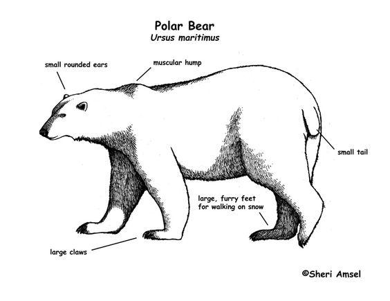 polar bears bears and the o 39 jays on pinterest : polar bear diagram - findchart.co