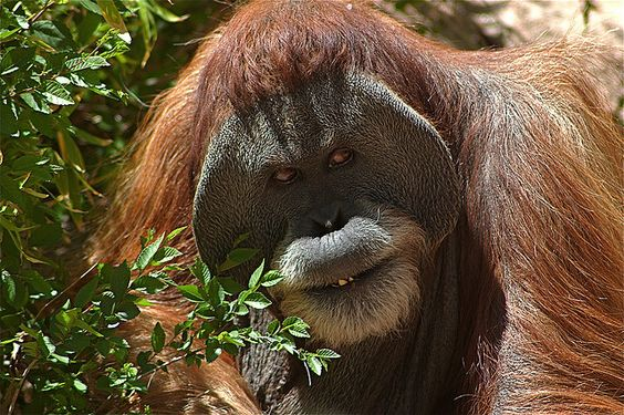 Orangutangs, with their reddish-brown shaggy hair, have a strong heavily built body, with long & powerful arms. They are large quiet gentle apes, that live in Southeast Asia.