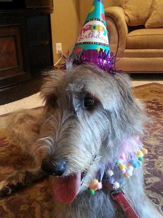 Birthday girl! My Irish Wolfhound, Molly!   Animal Love ...