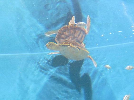 This is a turtle at the Newport Kentucky aquarium