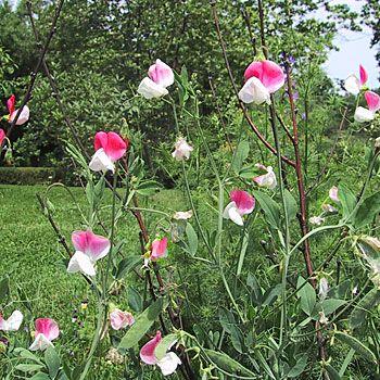 Painted Lady Sweet Pea Seeds (Lathyrus odoratus cv.)