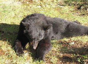 bear hunting is just one of the few things we do at Lake Herridge Lodge and Resort.. check us out at www.lakeherridgelodge.com