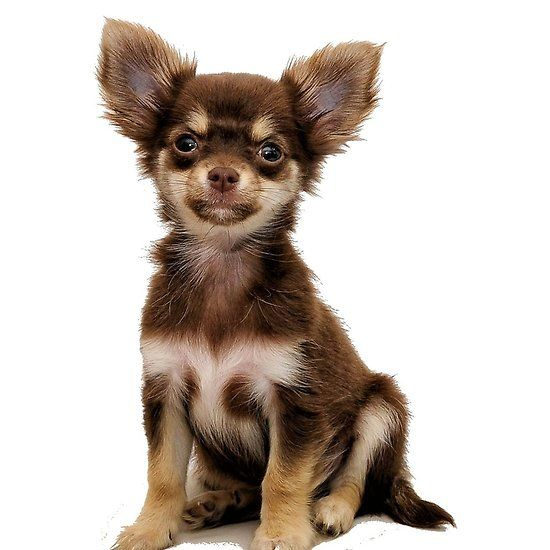 Chihuahua Chocolate And Tan Sitting Chihuahua Cute Small Dogs