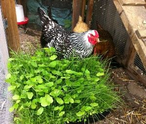 Plant alfalfa, clover, and flax for chickens to eat to increasethe omega 3s on their eggs: