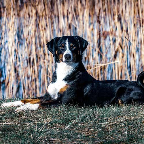 Appenzeller Sennenhund As Early As 1853 The Appenzell Cattle Dog
