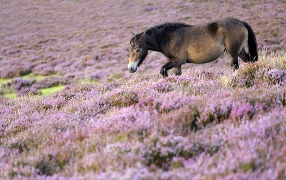 """""""Exmoor Pony"""" - © Ross Hoddinott"""