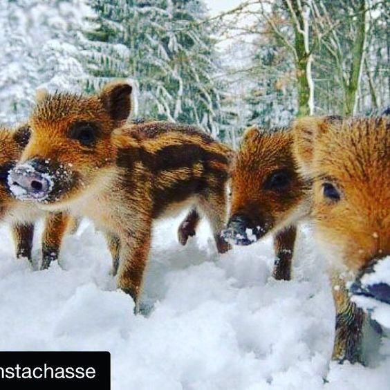 Sauen sind nicht nur in groß faszinierend. Ein super Foto @instachasse #jagd…