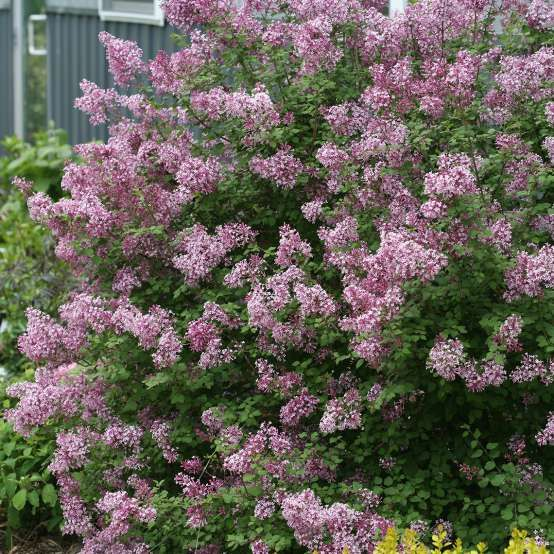 Bloomerang Dwarf Purple Syringa Spring Meadow Wholesale Liners Spring Meadow Nursery Bloomerang Lilac Syringa Plants