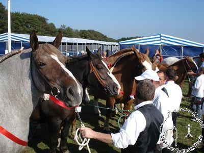 Breton horses