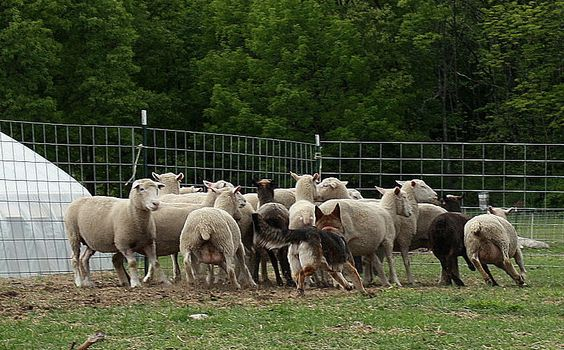 Virgo sheep herding