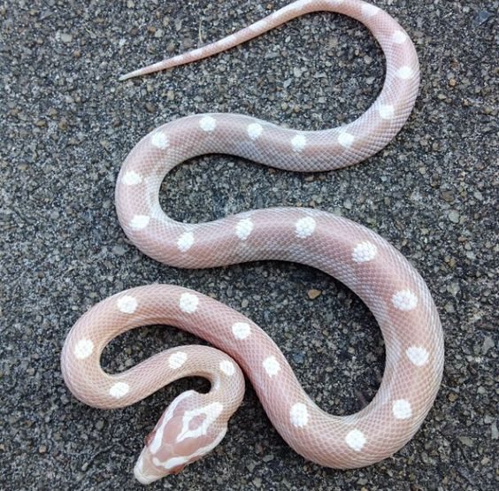 Snow motley corn snake I produced this year. Perfection.