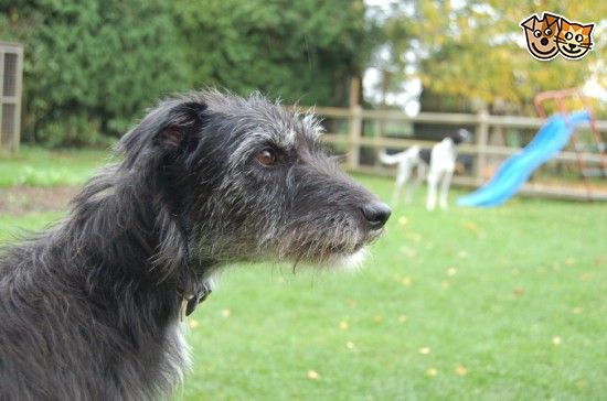 BEDLINGTON WHIPPET X GREYHOUND PUP FOR SALE | Bury St Edmunds, Suffolk | Pets4Homes