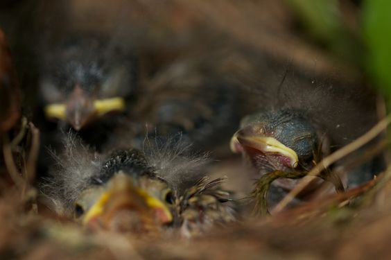 Baby Junco Birds in a Nest by John Pavlish on 500px