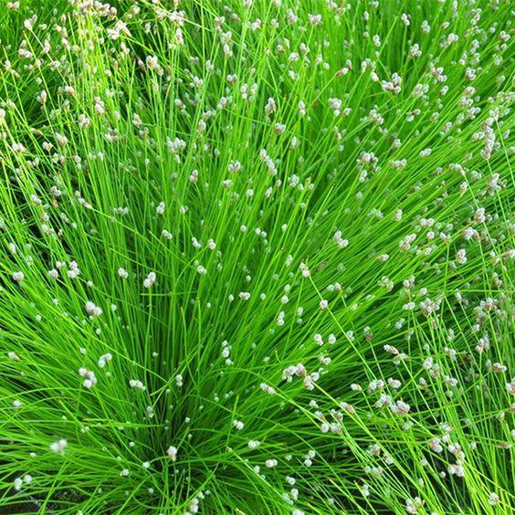Buy fiber optic plant (syn Scirpus cernuus ) Isolepis cernua: Delivery by Waitrose Garden in association with Crocus