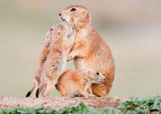Prarie dog family. #animals #love