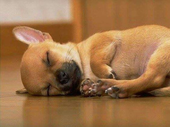 Chihuahua #lesfilous dog, hund, hond, chien