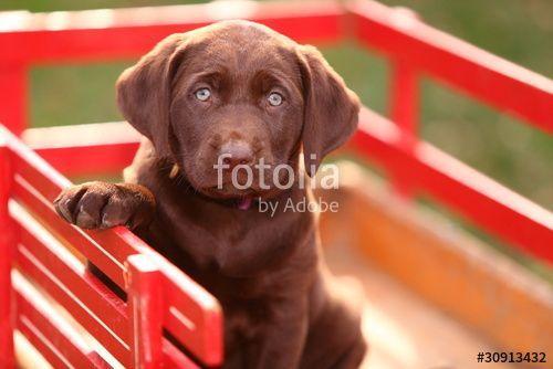 Chocolate Labrador Retriever Puppy Sitting In Red Wagon Chocolatelab Labrador Retriever Puppy Labrador Retriever Puppy Sitting Labrador Retriever Puppies