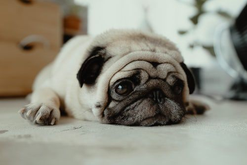 Fawn Pug Puppy Laying On Ground Sick Puppies Dog People Pug Names