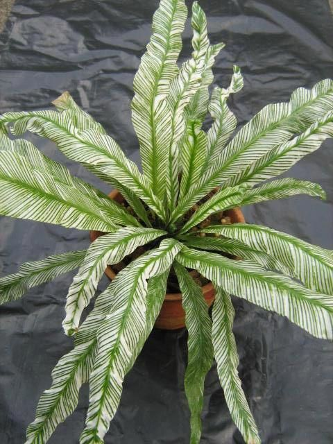 Indoor House Plants For Sale Houseplants Variegated Plants