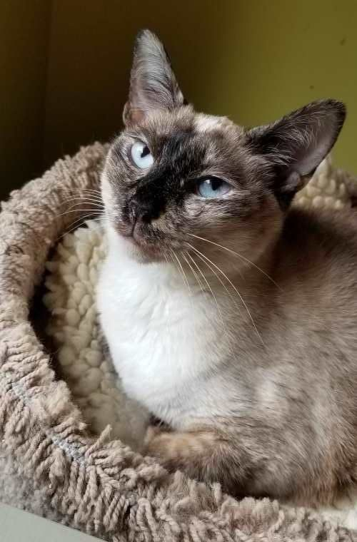 Adopt Muffin On Petfinder Purebred Cats Help Homeless Pets Cat Toilet Training