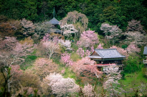 Thousand cherry blossom trees at a glance (一目千本桜) on Mt. Yoshino (吉野山) with historical Japanese architectures, in Yoshino (吉野), Nara Prefecture (奈良県), Japan. Mt. Yoshino (吉野山 Yoshinoyama), a UNESCO World Heritage Site, is one of Japan's most famous cherry blossom spots. There are over 30000 cherry blossom trees planted on the slopes. To purchase this photo, please go to here: www.gettyimages.ca/detail/photo/thousand-cherry-blossom-t... Camera Information: Model: Sony NEX-6 Lens: Sony E…