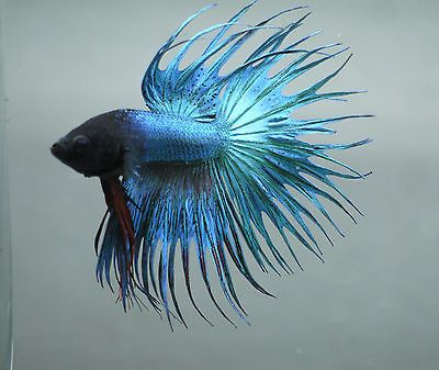 Double ray crowntail betta b14 beautiful betta fish for Crowntail betta fish