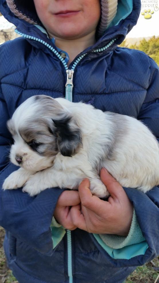 Cockapoo Puppies For Sale Cockapoo Puppies Cockapoo Puppies For