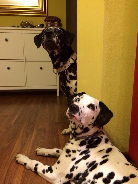 Dalmatians, Haidi&Fox (black one)