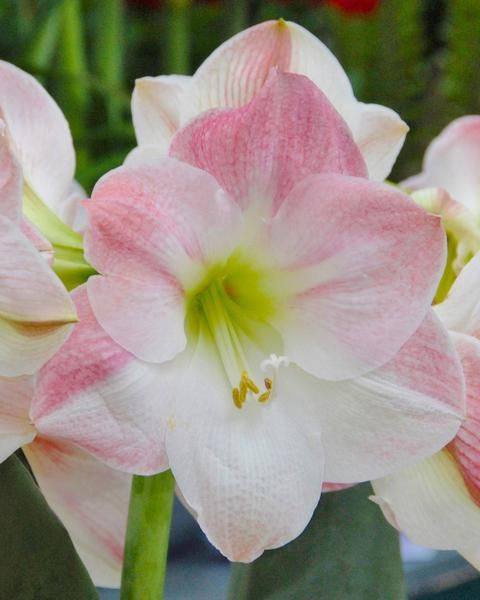 Amaryllis Apple Blossom In 2020 Apple Blossom Amaryllis Bulb Flowers