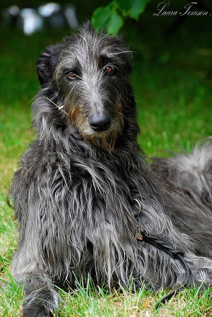 The Scottish Deerhound, or simply Deerhound, is a breed of hound, a sight hound, once bred to hunt Red Deer by coursing. With the eventual demise of the clan systems in Scotland, these dogs became sporting animals for landowners and the nobility. Famed for being docile and eager to please, with a bearing of gentle dignity. Deerhounds should not be raised with access only to leash walking or a small yard, this would be detrimental to their health and development.