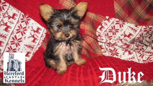 Yorkshire Terrier Puppy For Sale In Evans Ga Adn 54170 On